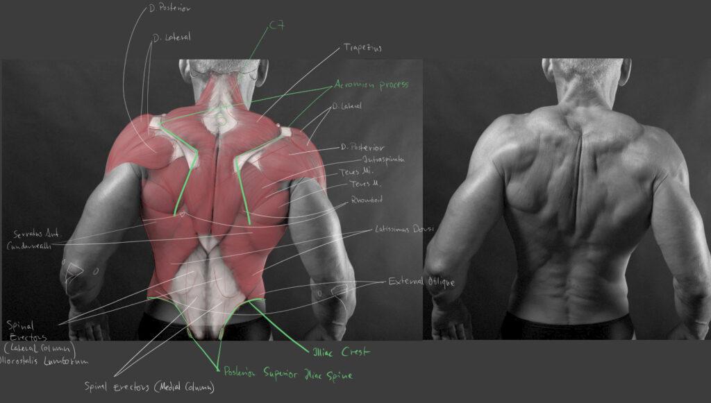 Daniel Nehring, Anatomische Zeichnung, Anatomie, Anatomy, Medizinische Illustration, Medical Illustration